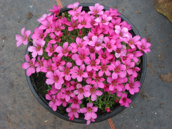 SAXIFRAGA 'Your Success' ( 'Tvuj Uspech')