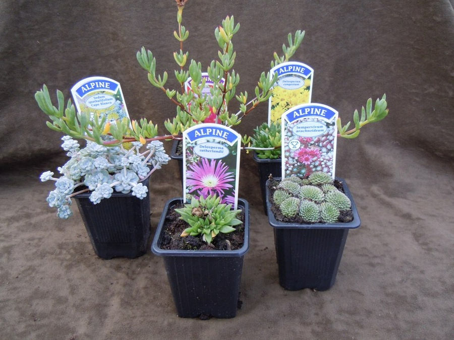 The Hot, Dry Collection - 5 plants for a hot, dry site