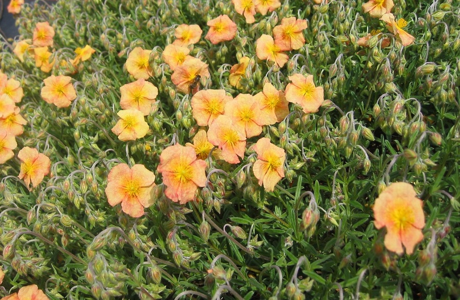 HELIANTHEMUM 'Shot Silk'