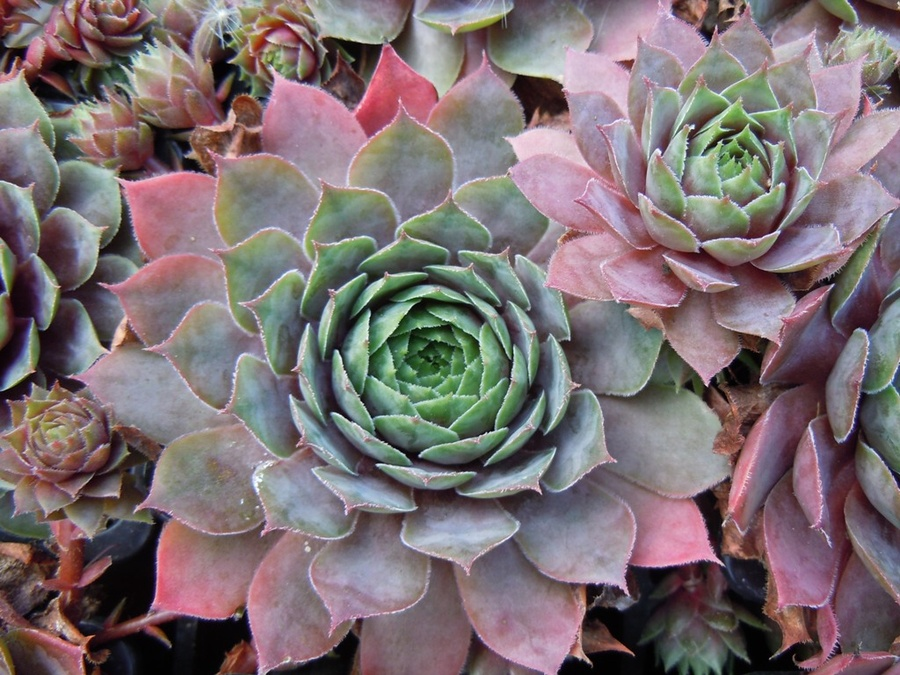 SEMPERVIVUM 'Jungle Fires'