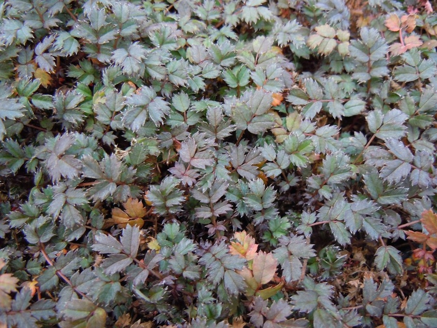 ACAENA 'Copper Carpet'