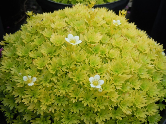 SAXIFRAGA 'Cloth of Gold'