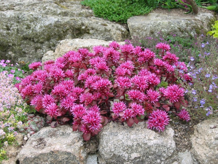SEDUM spurium 'Dragon's Blood'
